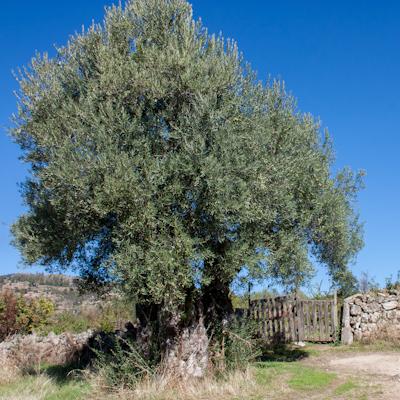 Árbol señero